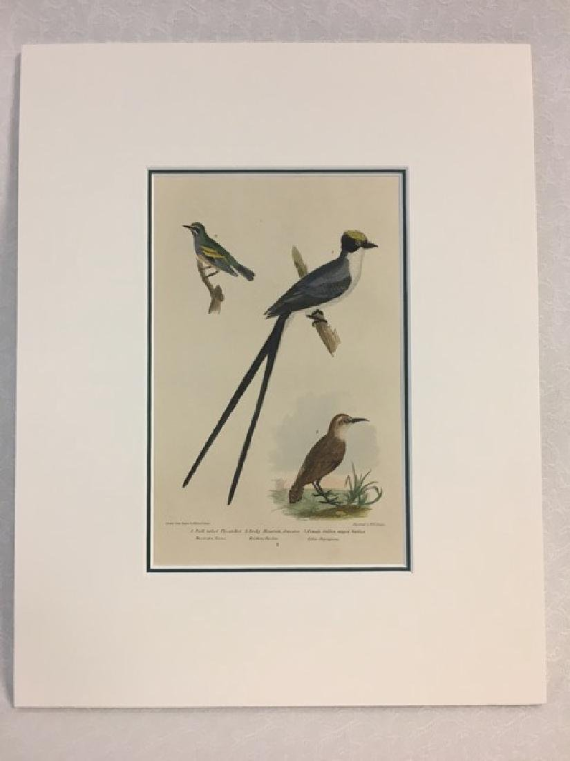 Titian R. Peale (after Wilson). Fork Tailed Flycatcher.