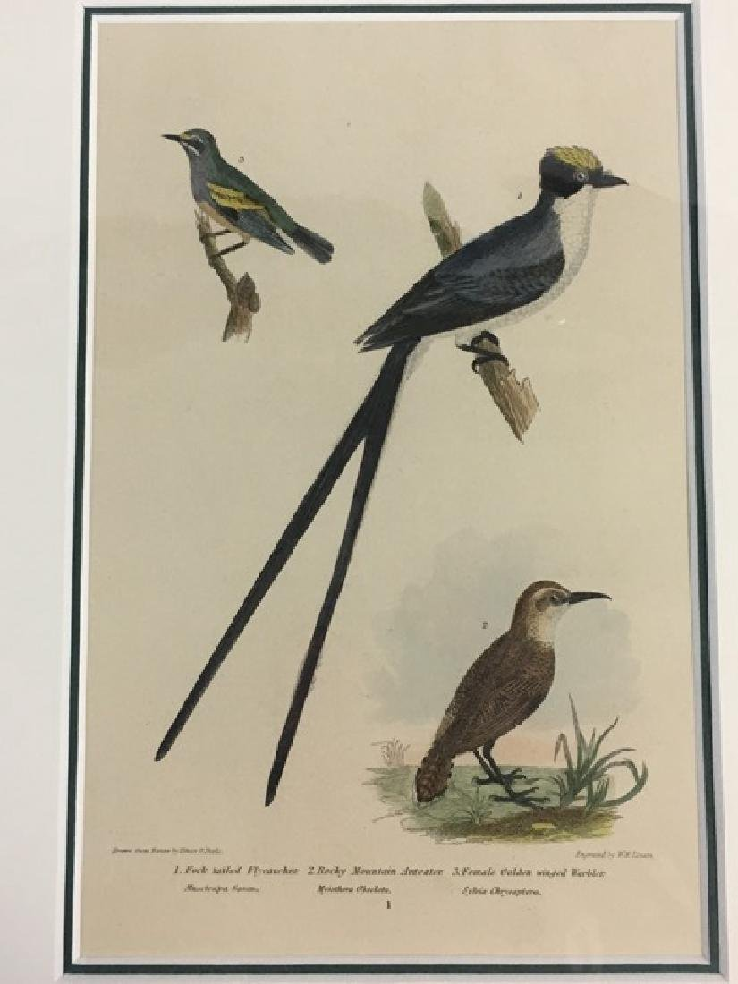 Titian R. Peale (after Wilson). Fork Tailed Flycatcher. - 3