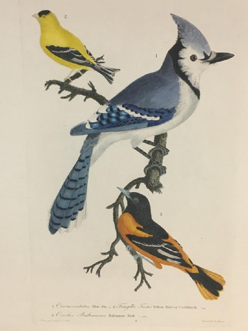 Alexander Wilson. Bluejay, Goldfinch, Baltimore Oriole