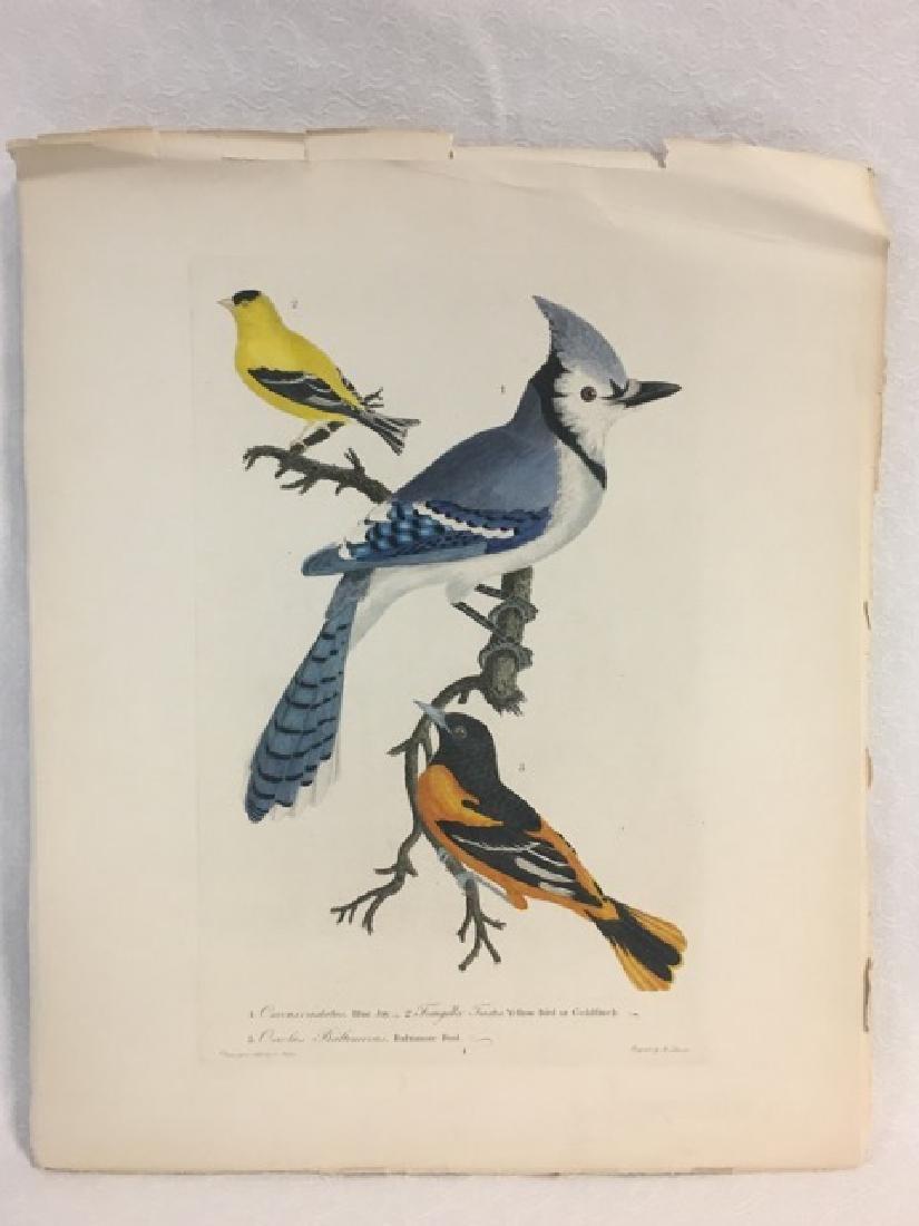 Alexander Wilson. Bluejay, Goldfinch, Baltimore Oriole - 2