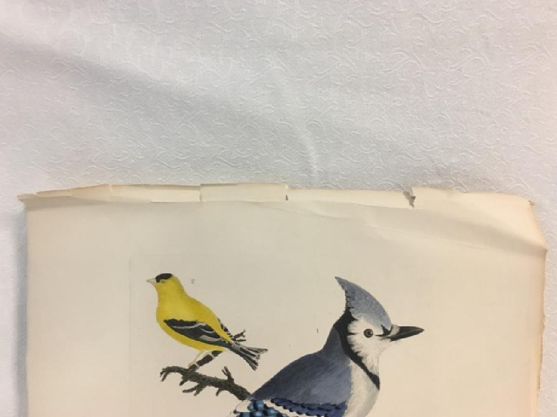 Alexander Wilson. Bluejay, Goldfinch, Baltimore Oriole - 3