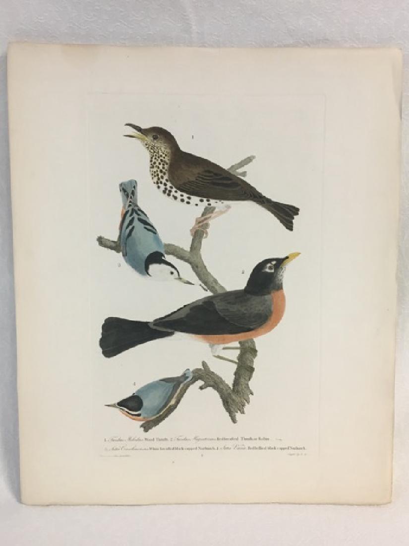 Alexander Wilson. Wood Thrush, Robin, Nuthatches - 2