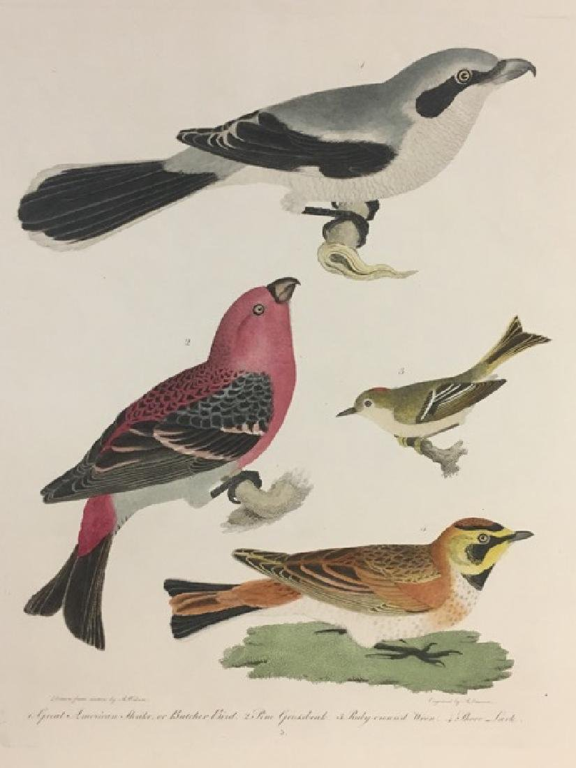 Alexander Wilson. Great American Shrike