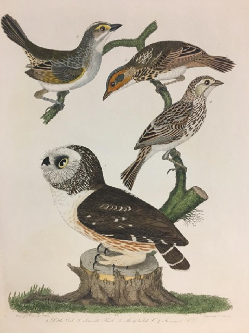 Alexander Wilson. Little Owl, Sea-side Finch