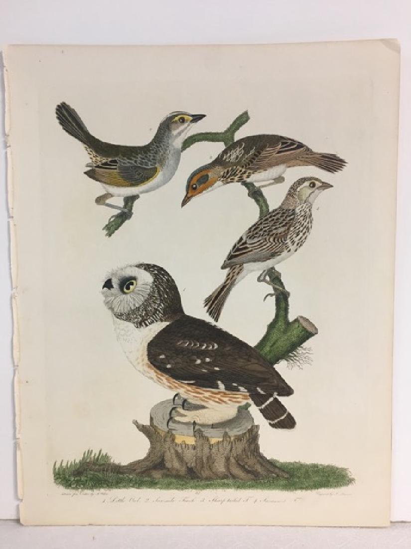 Alexander Wilson. Little Owl, Sea-side Finch - 2