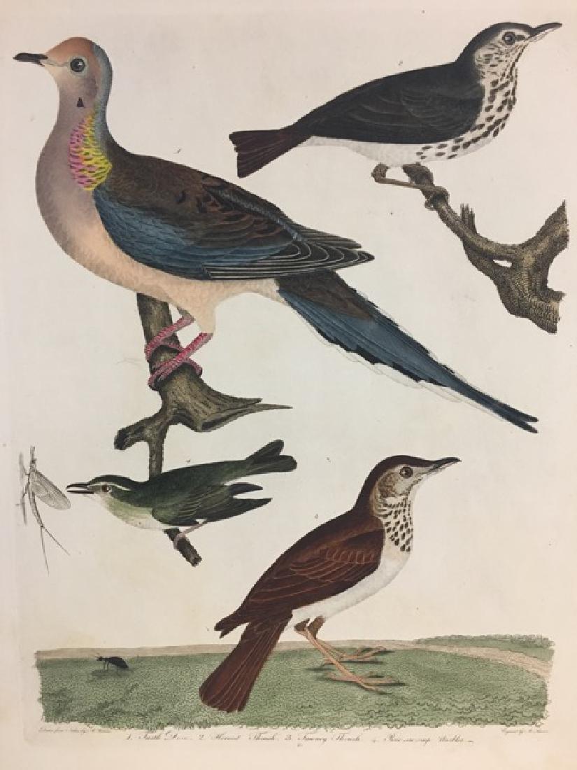 Alexander Wilson. Turtle Dove, Hermit Thrush