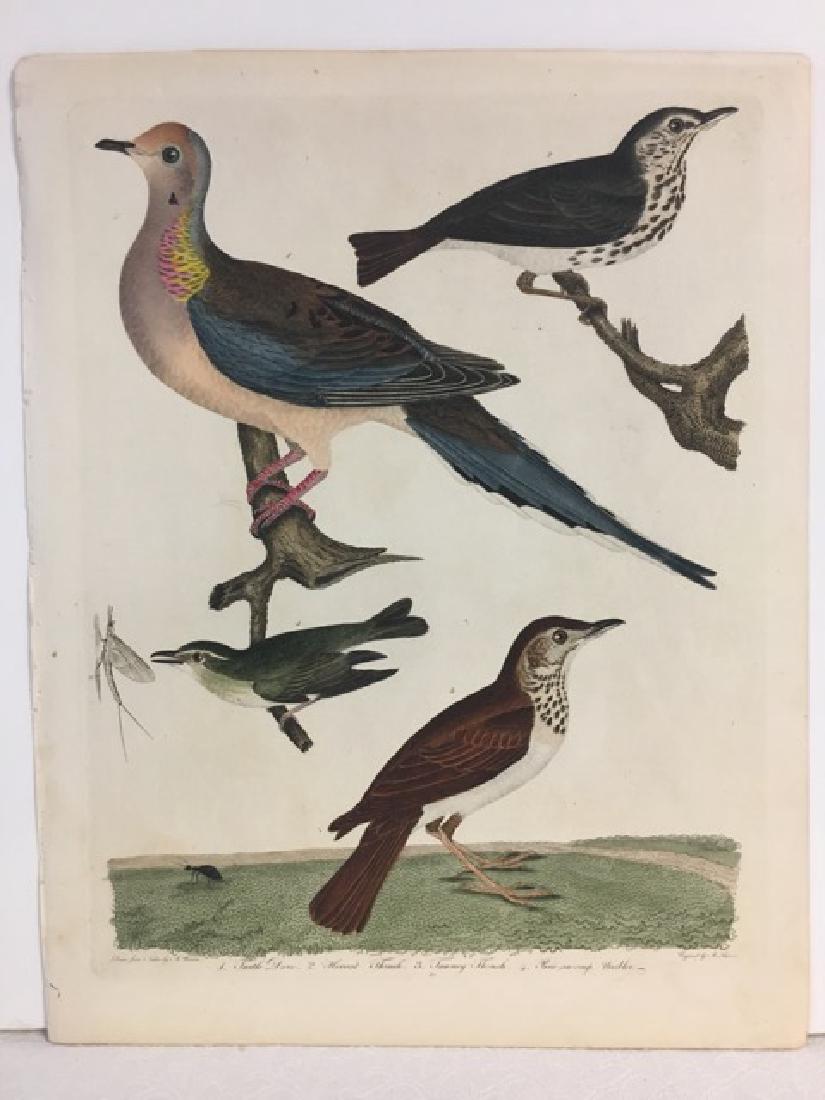 Alexander Wilson. Turtle Dove, Hermit Thrush - 2