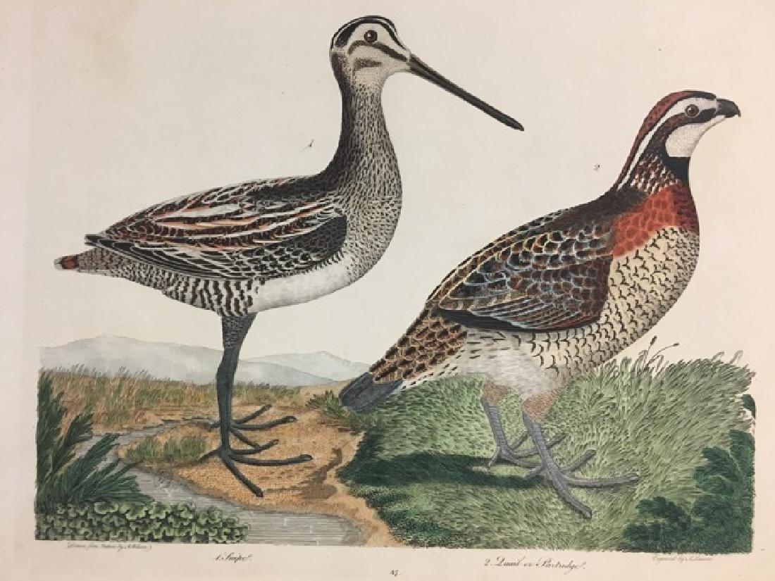 Alexander Wilson. Snipe, Quail or Partridge