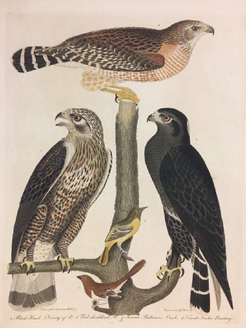 Alexander Wilson. Black Hawk, Red Shoulderd Hawk