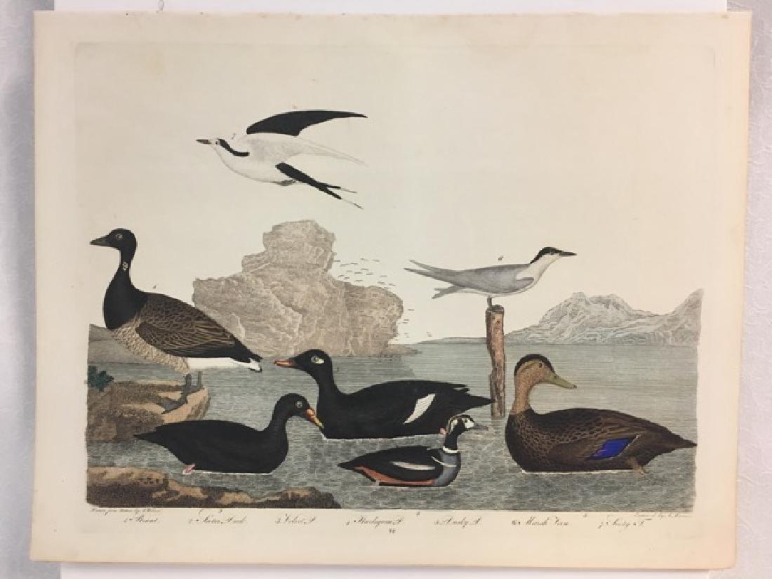 Alexander Wilson. Brant, Scoter Duck, Harlequin Duck - 2