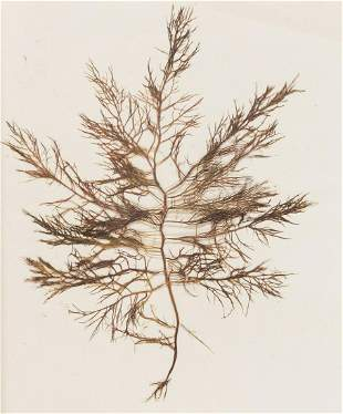 Seaweeds.- [Long] (Isabella Henrietta Theodora) Album