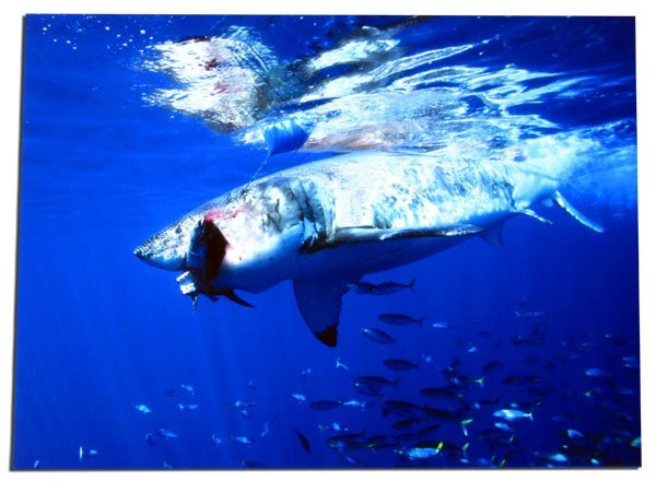 820: Great White - Stretched Canvas Giclée Print-by Pho