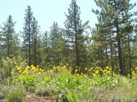 GOV: CA LAND, 1 AC. $12,741@$159/mo � CALIFORNIA PINES!