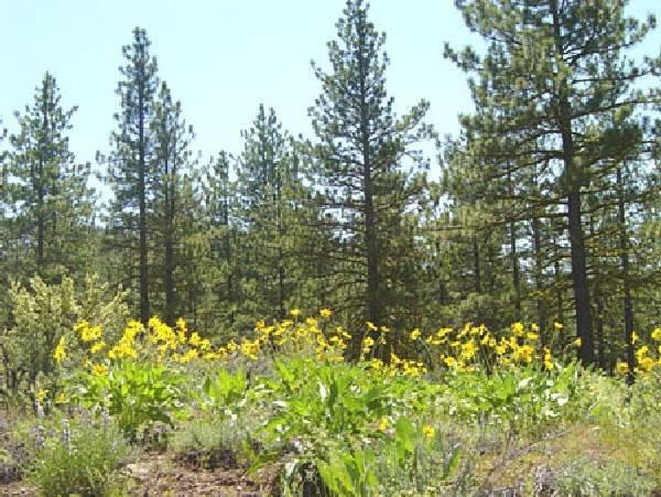 GOV: CA LAND, 1 AC. $12,741@$159/mo – CALIFORNIA PINES!