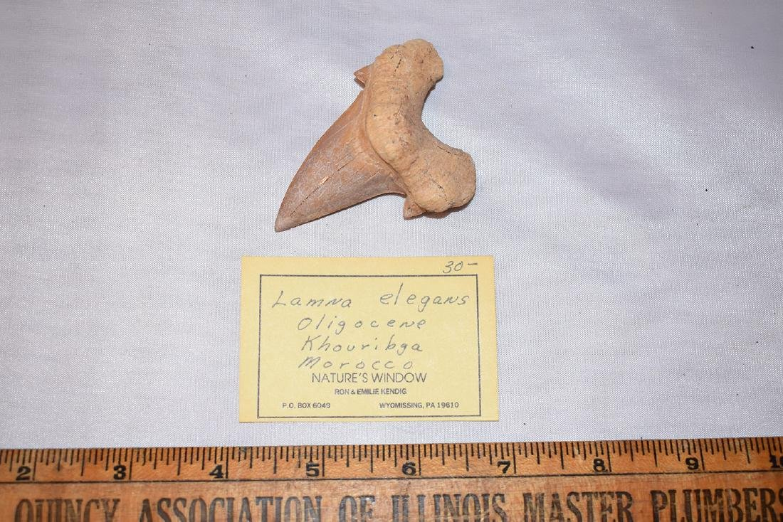 Fossilized Shark Tooth, Morocco, Lamma Elegans