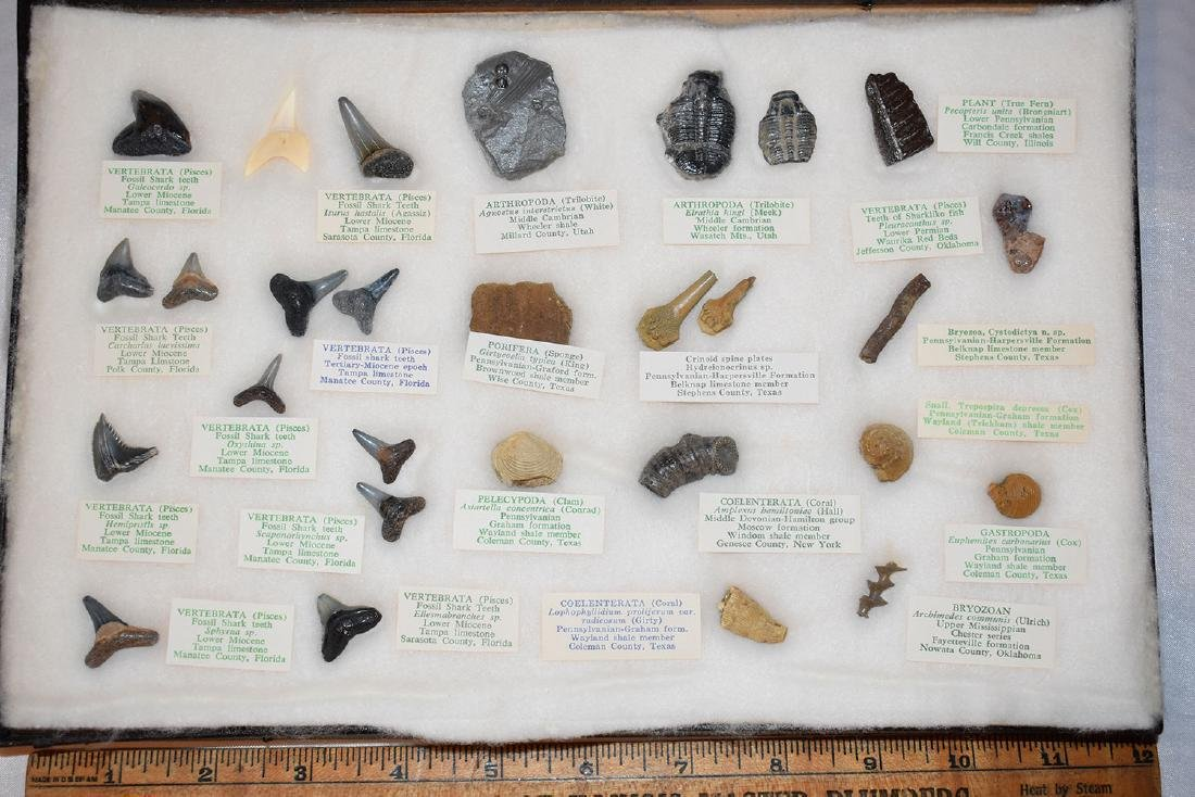 Nice frame of Fossils and Shark Teeth