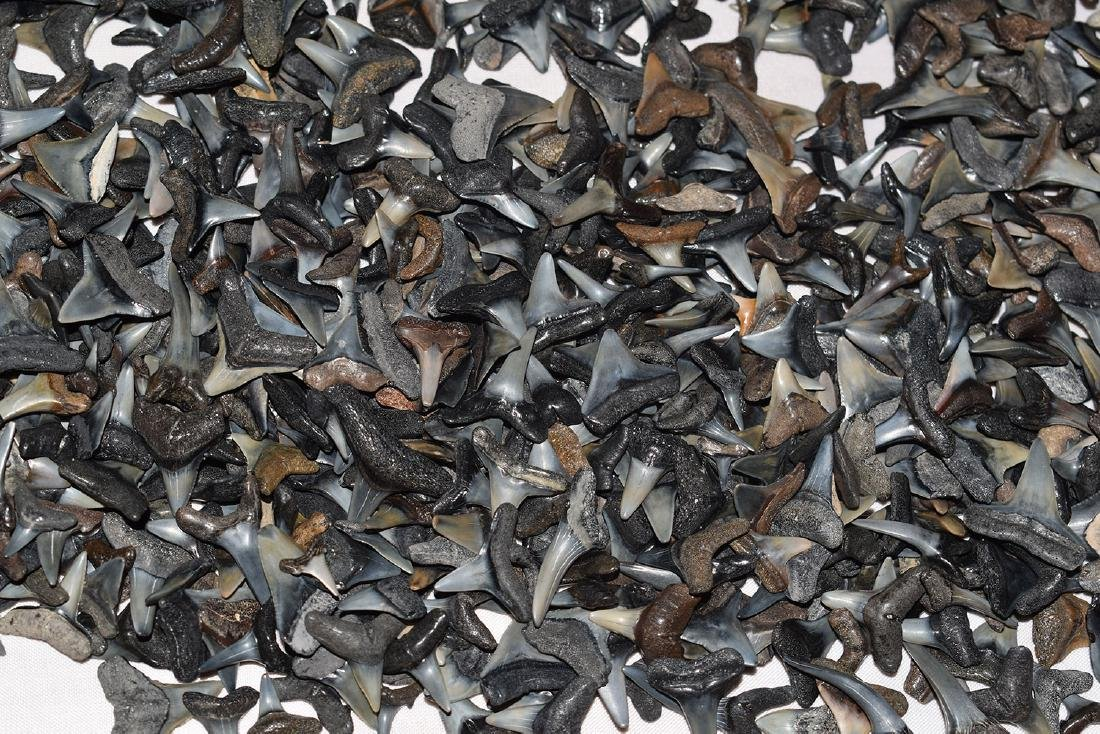 Lot of Shark Teeth, 1 pound 3 ounces - 2