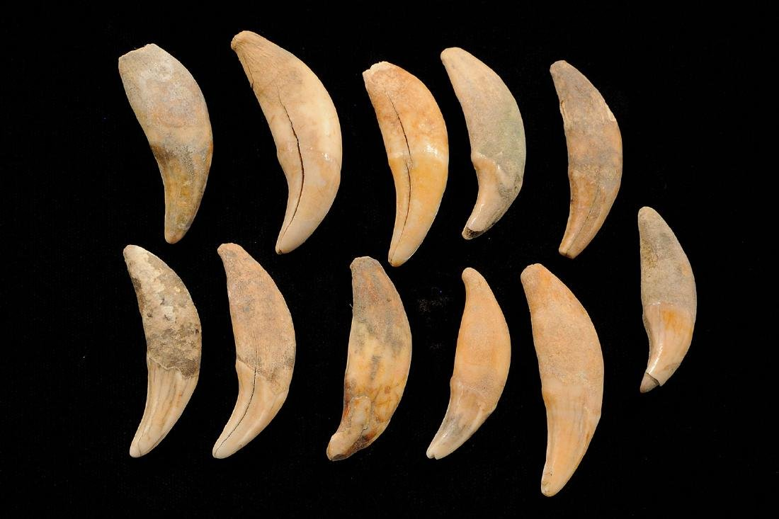 Lot of Bear Tooth Pendants / Necklace, Gettysburg SD,
