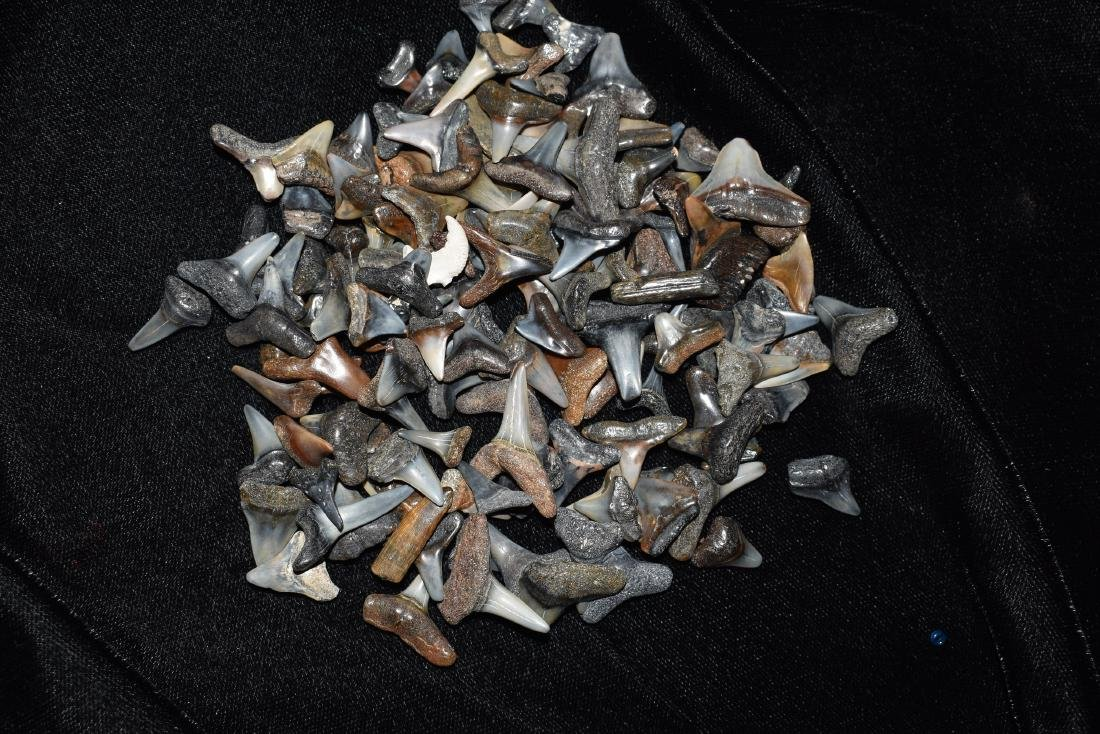 Lot of Sharks Teeth, Found In VenIce Florida in 1984