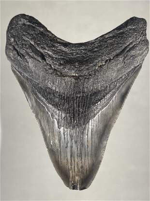 "HUGE 4 1/4"" LONG MEGALODON SHARK TOOTH FOSSIL FOUND OFF"