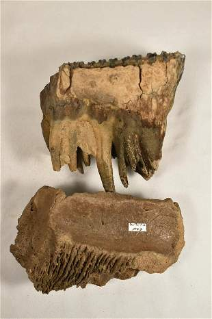 "5"" X 4 3/4"" COMPLETE MAMMOTH TOOTH WITH FULL ROOT AND"