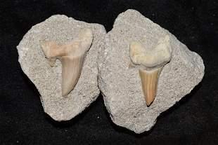 Lot of 2 Fossil Sharks Teeth