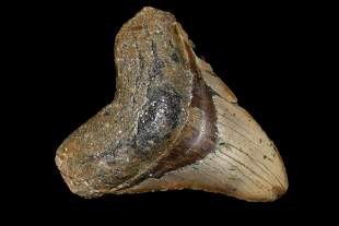 """HUGE 4 7/8"""" LONG MEGALODON SHARK TOOTH FOSSIL FOUND OFF"""