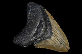 """HUGE 4 3/8"""" LONG MEGALODON SHARK TOOTH FOSSIL FOUND OFF"""