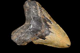 """MASSIVE 6"""" LONG MEGALODON SHARK TOOTH FOSSIL FOUND OFF"""