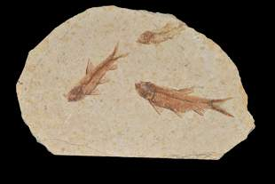NICE MULTIPLE FOSSIL FISH FROM THE GREEN RIVER,