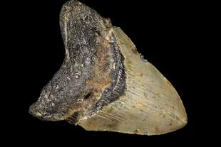 """HUGE 5 3/8"""" LONG MEGALODON SHARK TOOTH FOSSIL FOUND OFF"""