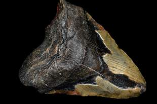 """HUGE 5 7/8"""" LONG MEGALODON SHARK TOOTH FOSSIL FOUND OFF"""