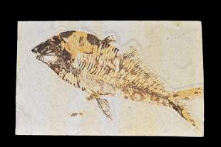 NICE LARGE FOSSIL FISH FROM THE GREEN RIVER, WYOMING,