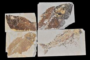 LOT OF 4 LARGE FOSSIL FISH FROM THE GREEN RIVER,