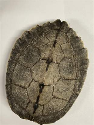 """Turtle Shell, Painted, 6.25"""""""