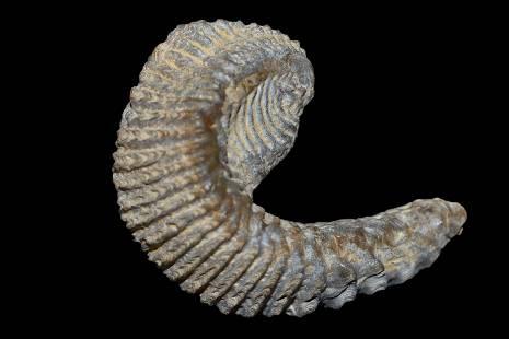 """2 3/8"""" Trilobite Fossil"""