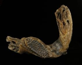 Mammoth Jaw, with Molar, 14 x 15 inches