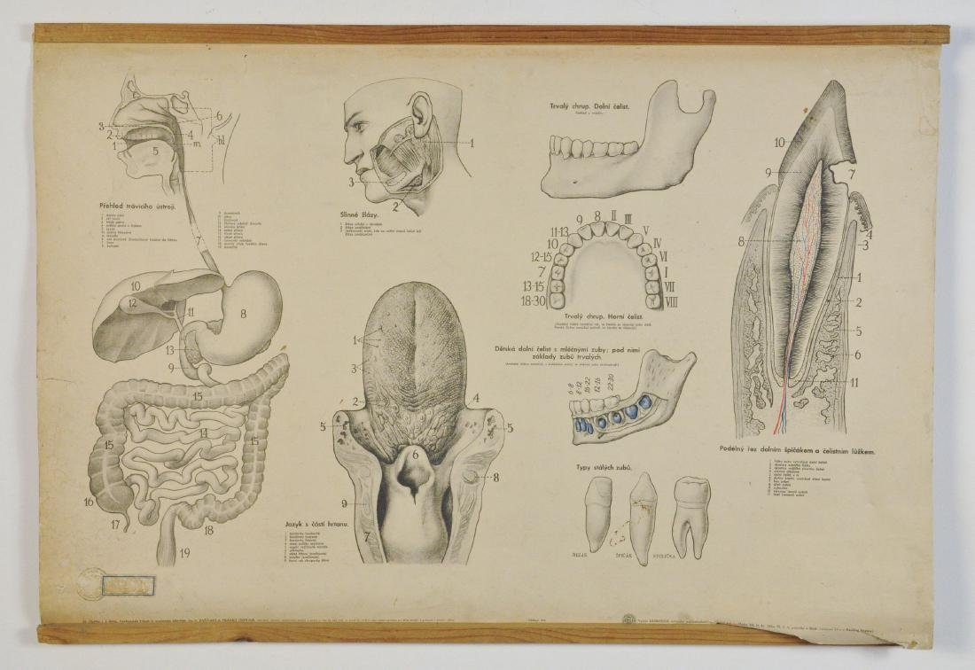 Vintage Dental Teaching Chart from 1956 Czechoslovakia