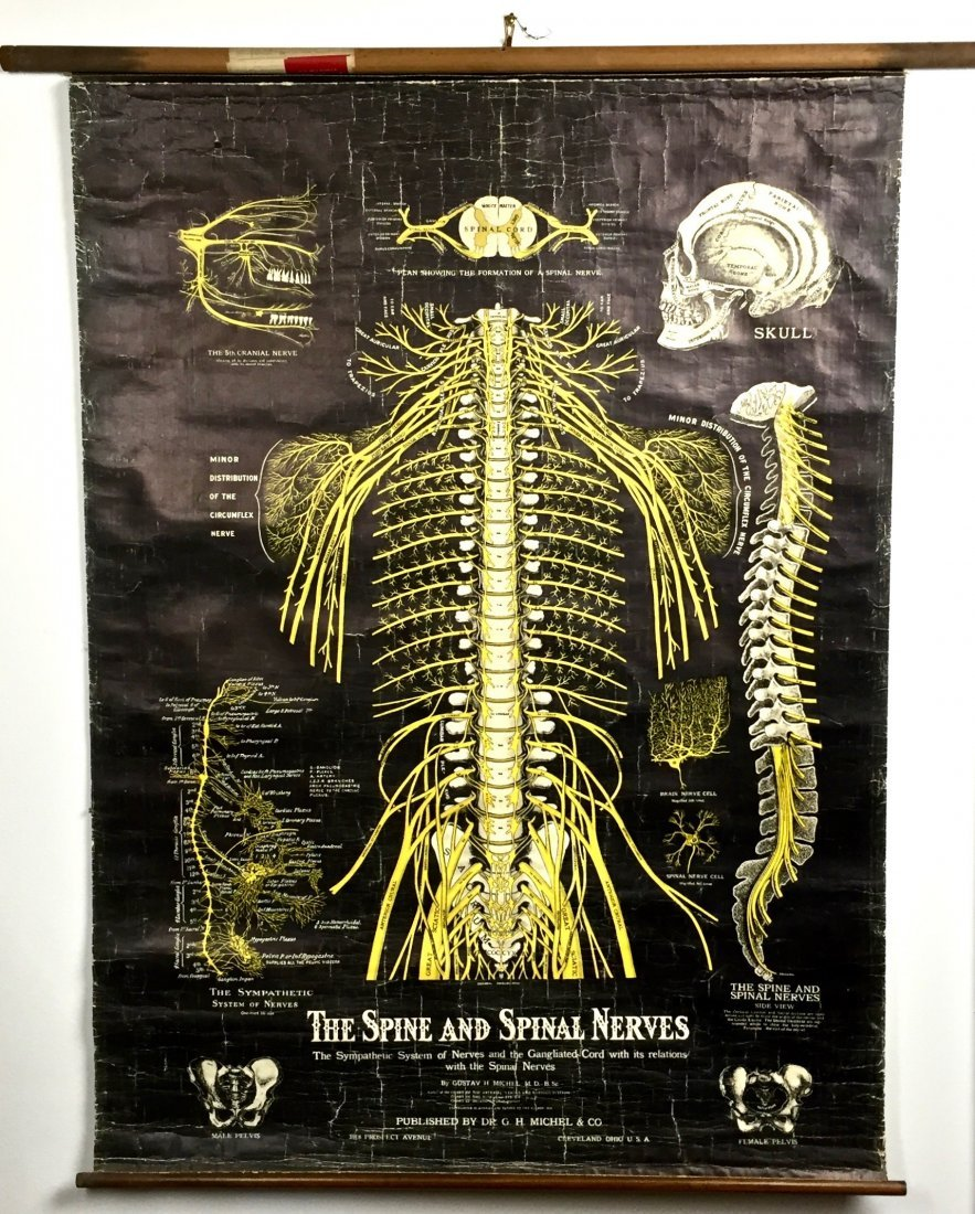 Antique Spine and Spinal Nerves Chart