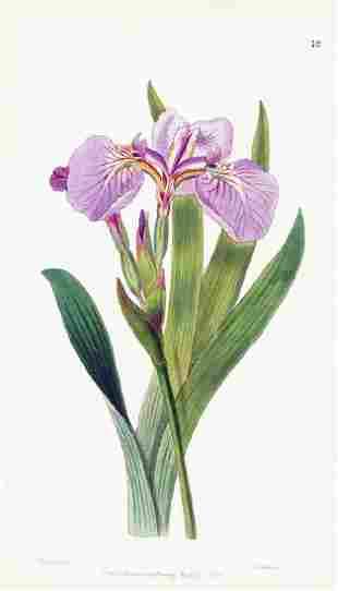 Bristle-Tipped Iris