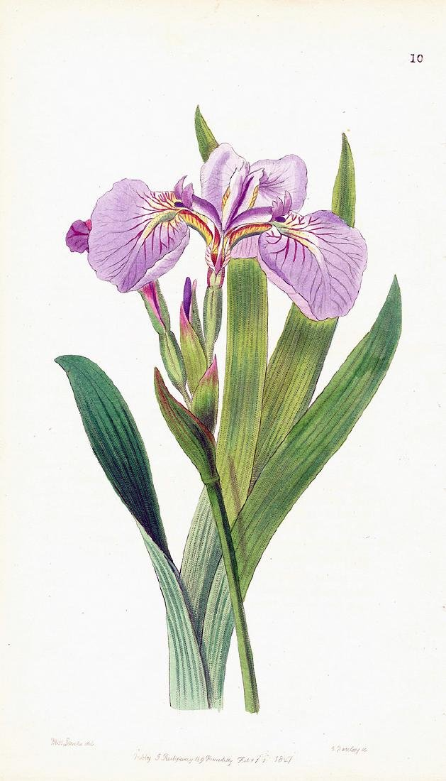 Bristle-Tipped Iris