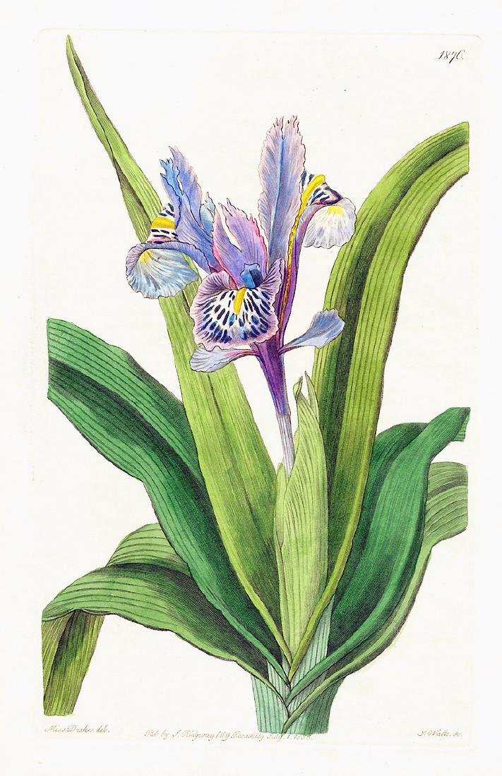 Small-Winged Iris