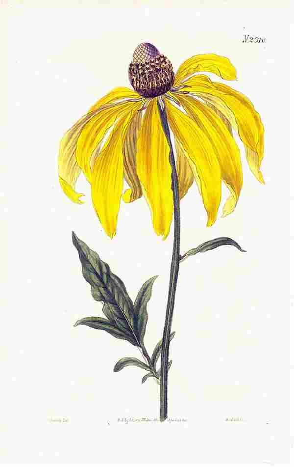 Fragrant Pinnated Rudbeckia