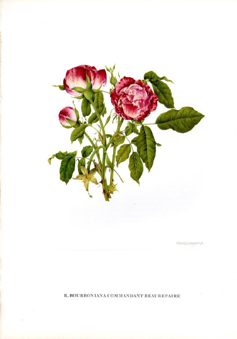 Lot of 7 Old Garden Rose Prints