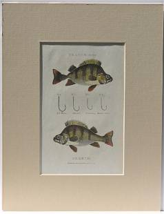 Perch Fish & Hooks, 1801