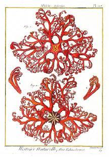 Asterie (Basket Starfish)
