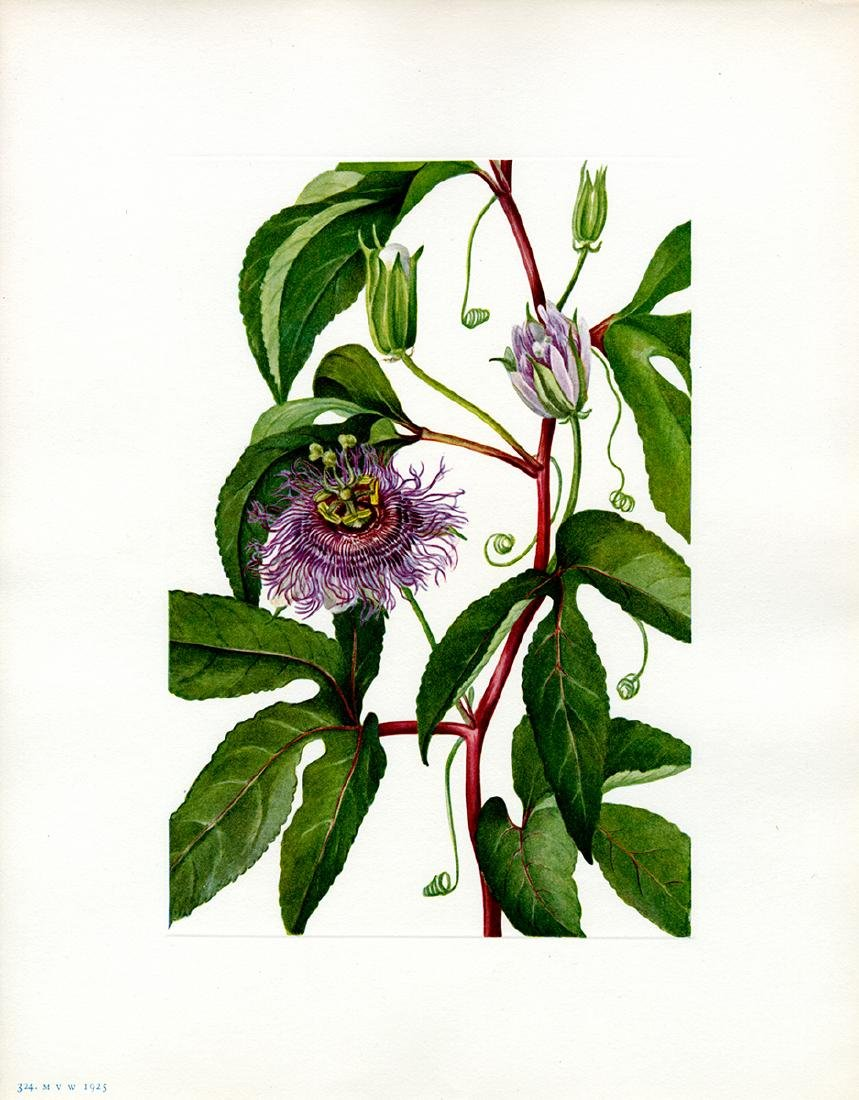 Lot of 4 Mary Vaux Walcott botanical prints - 3