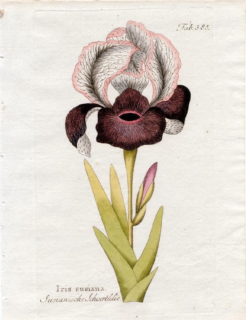 Iris Sussiana