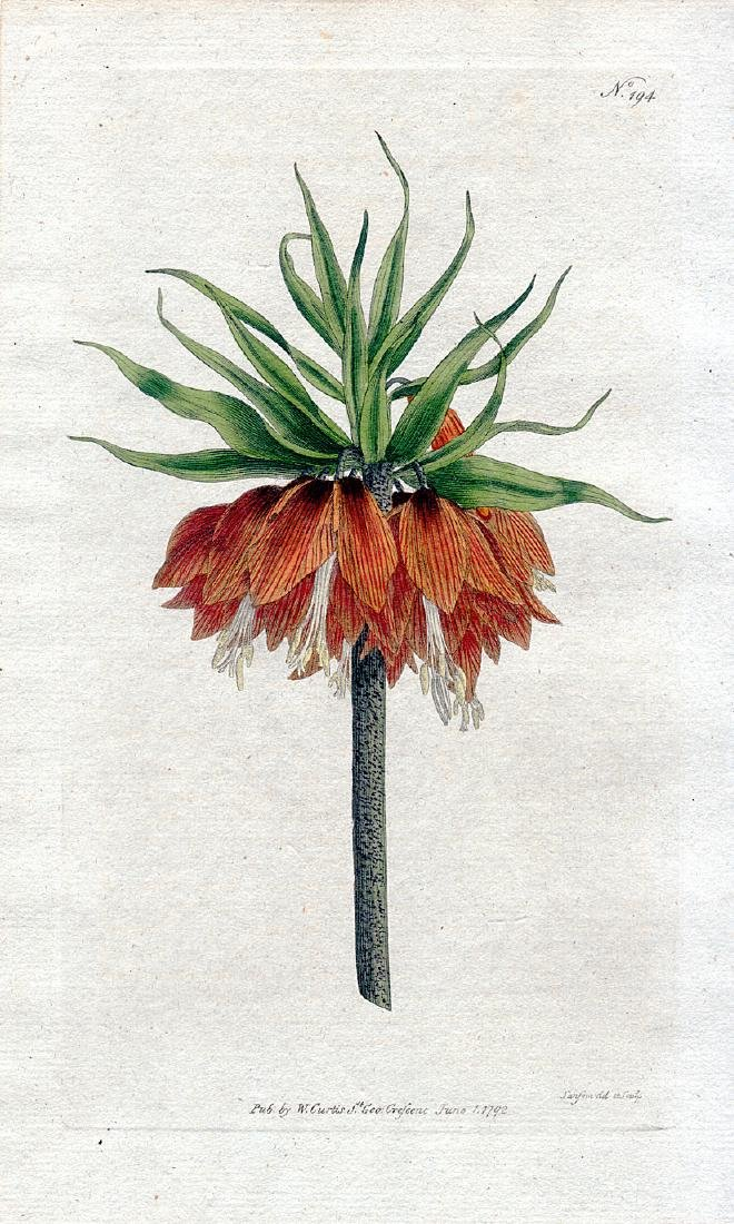 Crown Imperial Lily