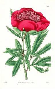 Anemone-Flowered Peony